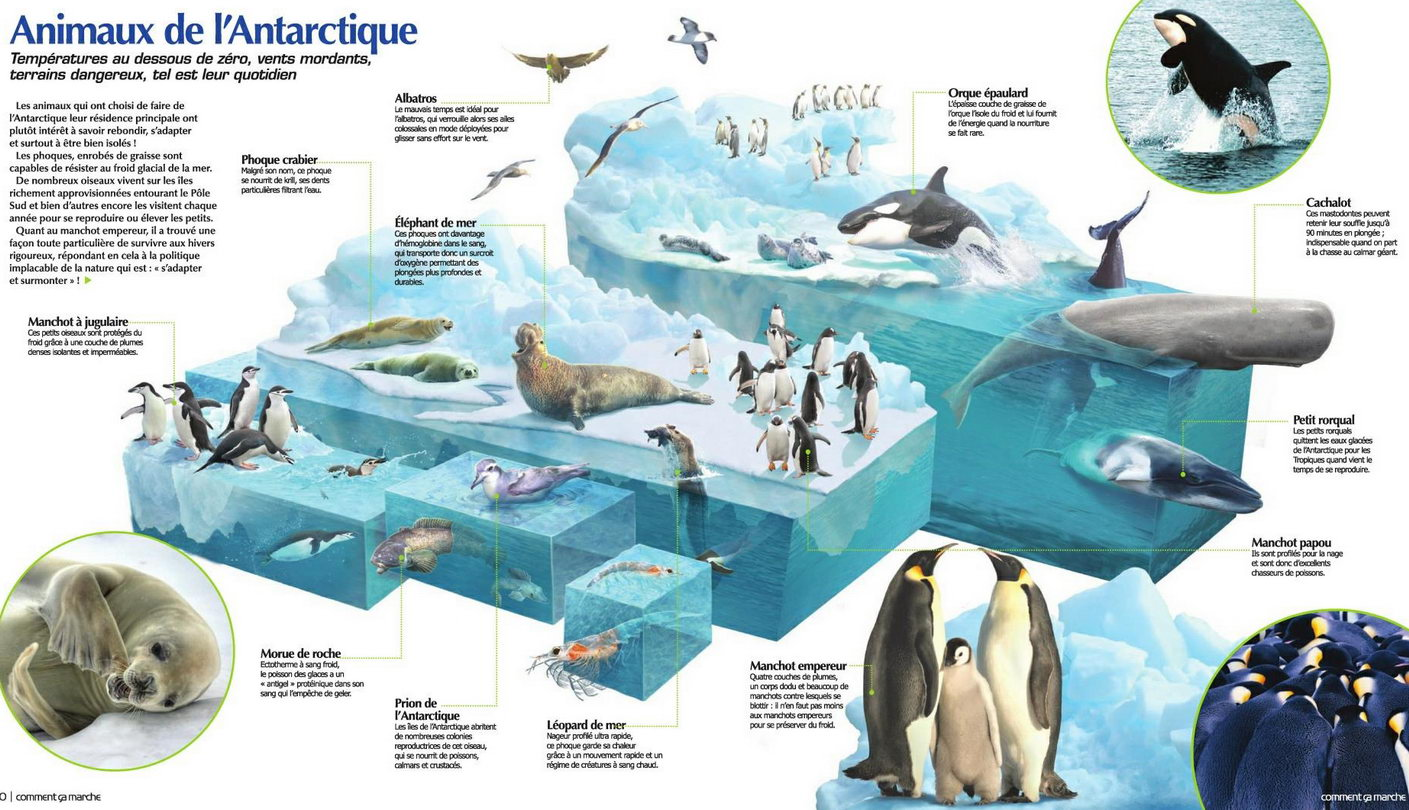 Protégeons baleines, manchots et phoques en Antarctique Animantarc1