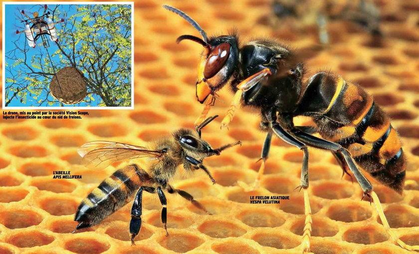 plan te ga a animal arthropodes entomologie frelon tueur. Black Bedroom Furniture Sets. Home Design Ideas