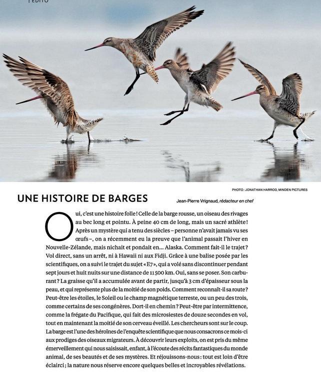 martinet oiseau migrateur